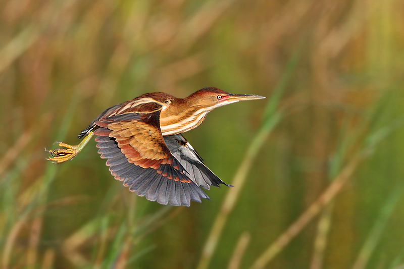 Least Bittern Flying